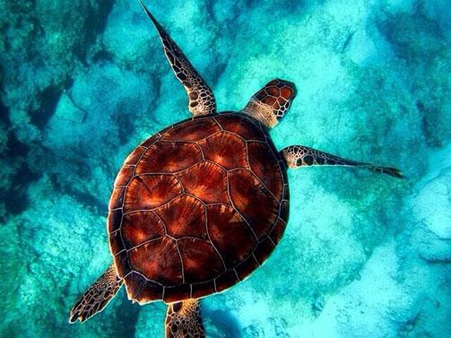 Schildkröte im Meer, türkisfarbener Hintergrund